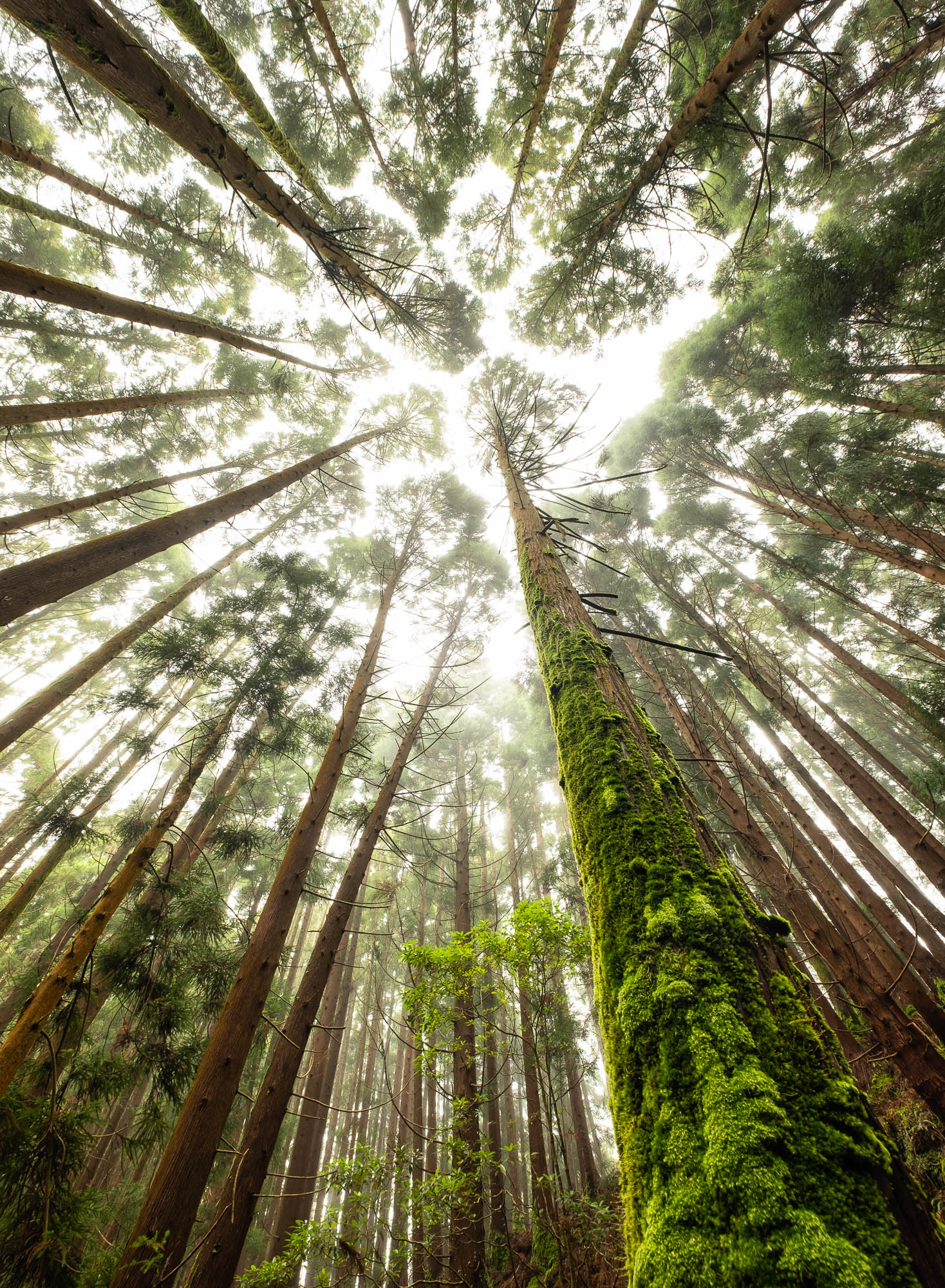 Vertical green forest, Terceira Island, Azores